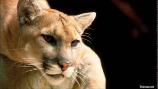 Bob Duchesne's Wild Maine: Finding The Eastern Cougar