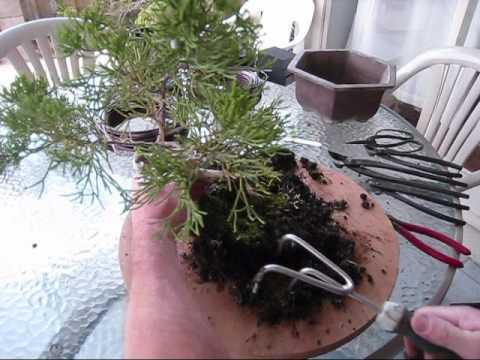 Video: cách thay, chuyển chậu cây tùng