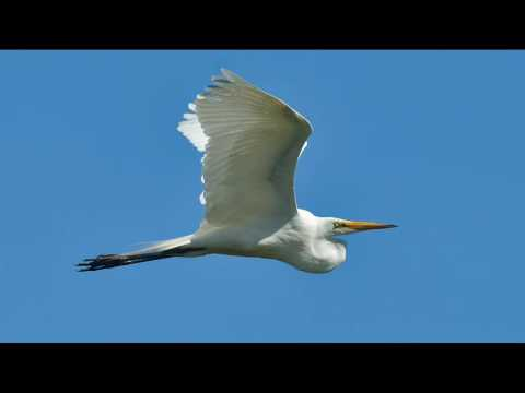Portraits of egrets and herons with Sigma 500mm F4.5 EX HSM APO,Nikon ft-1 v3