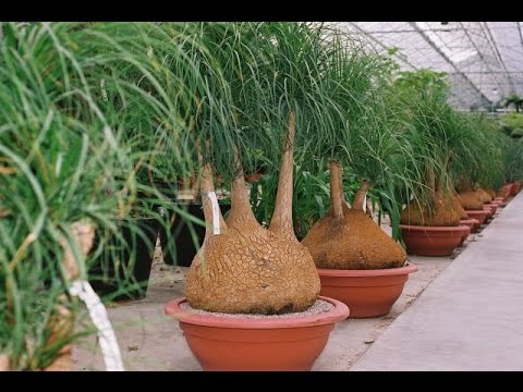 Beaucarnea recurvata or Nolina recurvata