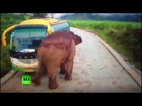 Video Wildlife vs transport: Elephant attacks vehicles in China download in MP3, 3GP, MP4, WEBM, AVI, FLV January 2017