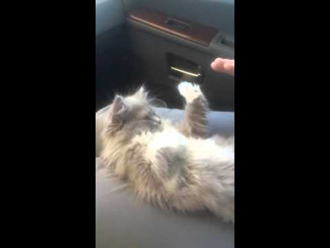 Kitten Playing Patty Cake (Video)
