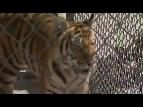 Texas Escaped Tiger's Owner Comes Forward