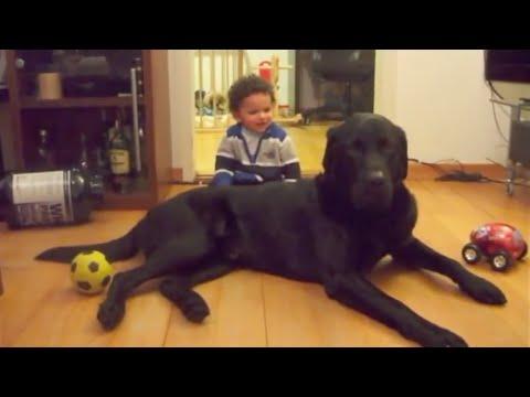 Baby & a dangerous Labrador. 90lbs (40kg) black male Lab!