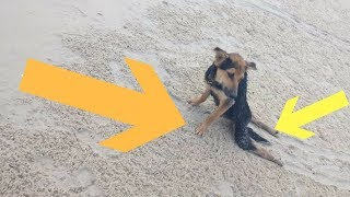 This Dog Was Left Paralyzed On The Beach Until Someone Decided To Save Him