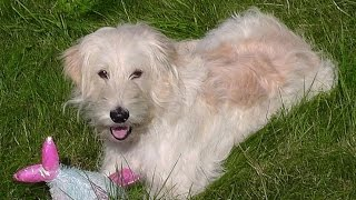 Funny Animals With Poodle Golden Retriever Mix Goldendoodle Ally. Compilation No.28 2014 REP1