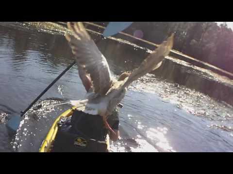vídeo que muestra el ataque de un ganso a un pescador