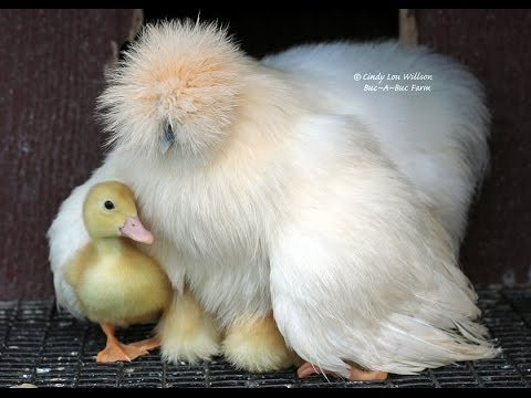 Video Cutest Thing! Yellow Pekin Duck / Ducklings Hatch Under Grumpy Silkie Mama Hens - Buc~A~Buc Farm download in MP3, 3GP, MP4, WEBM, AVI, FLV January 2017