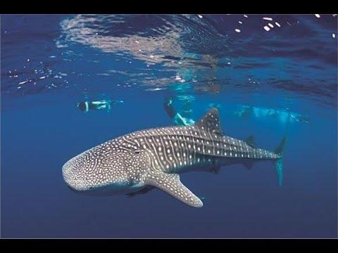 بعد ظهوره في سيناء.. معلومات لا تعرفها عن القرش الحوتي