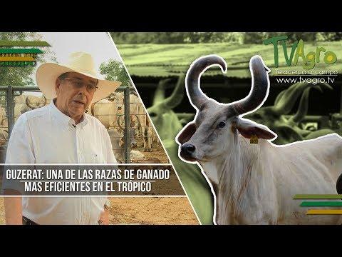 Guzerat: Una de las Razas de Ganado mas Eficientes en el Tropico  - TvAgro por Juan Gonzalo Angel