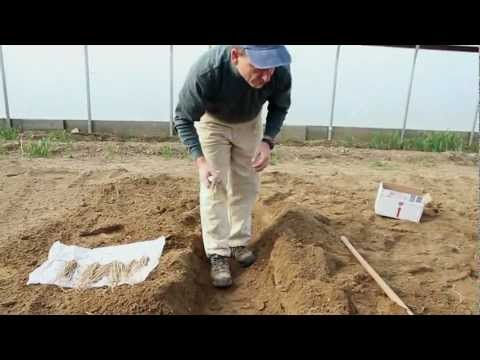 planting - University of Maine Cooperative Extension vegetable specialist discusses and demonstrates the best planting techniques for asparagus. Note: To avoid frost da...