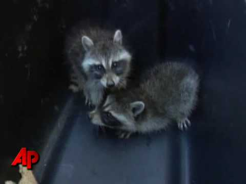 Raccoons Rescued From Vending Machine