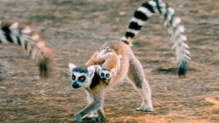 Nonton Exploring the 'Island of Lemurs: Madagascar' Film Subtitle Indonesia Streaming Movie Download