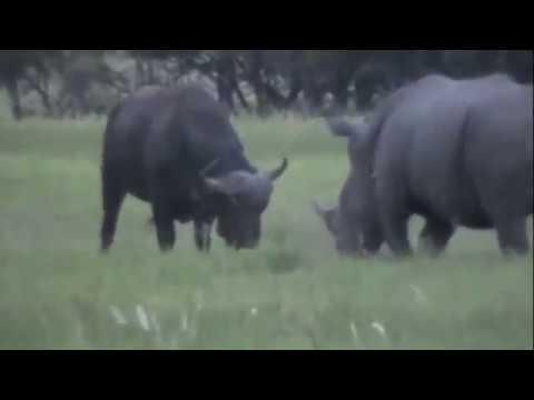 Tê giác và trâu rừng.flv
