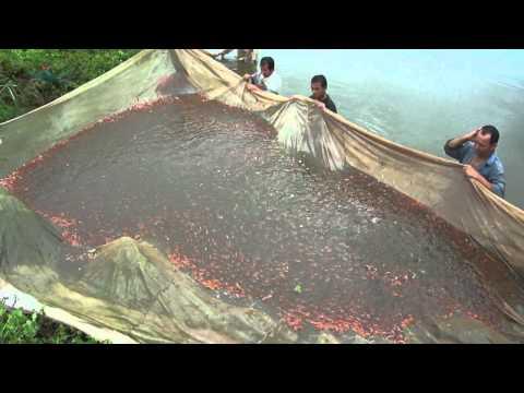 Piscicola el vergel ltda alevinos de tilapia roja for Tanques para cachamas