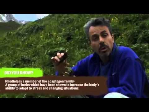 A Gyógyszer Vadász - Chris Kilham a Rhodioláról