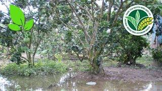 Khuyến nông | Nuôi thủy sản trong vườn cây có múi: Lạ mà hiệu quả