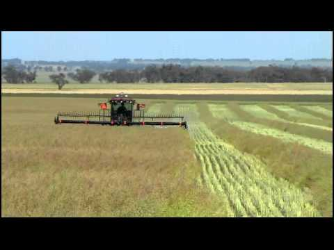 swathing - Swathing our 2011 canola, contractors Roberts Windrowing Charlton.
