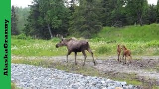 Moose Mom and Twins Alaska  Driving down the Kenai Peninsula toward Sterling and Homer, a moose mama and 2 babies crossed the road in front of us.  So cute!