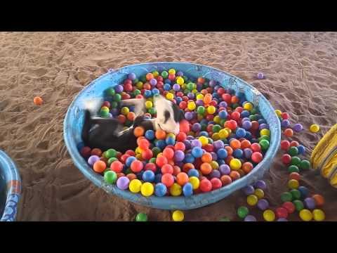 Tämä koira nauttii pallomerestä täysin rinnoin