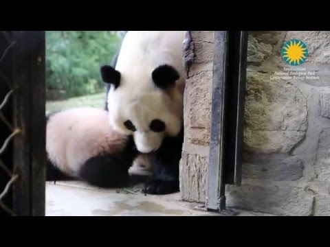Panda Cub At National Zoo Goes Outside For The First Time
