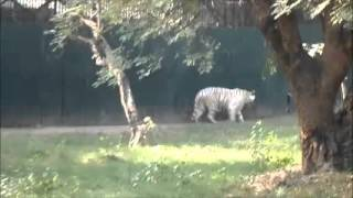 Video Tiger video, white tiger hungry waiting for food MP3, 3GP, MP4, WEBM, AVI, FLV Oktober 2017