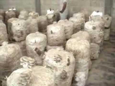 Cultivo de Pleurotus (oyster mushrooms, setas, orejas) en Estado de México.
