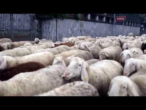 Le pecore a Buguggiate
