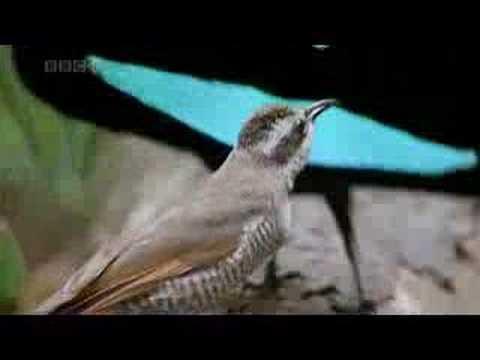 Nesting Habits of Doves