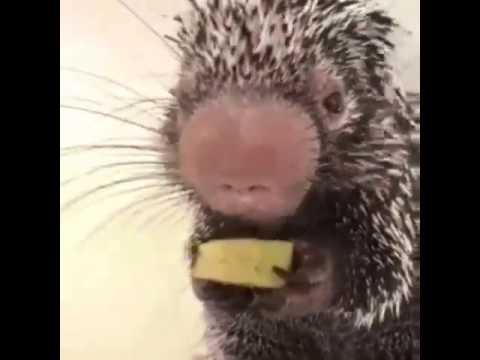 Supersöpö kierteishäntäpiikikkö Wilbur mussuttaa banaania
