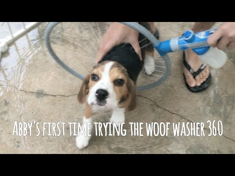 Puppy Beagle Abby's first time trying the woof washer 360