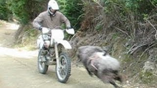 Crazy Mountain Ram Attacks Motorbike Rider