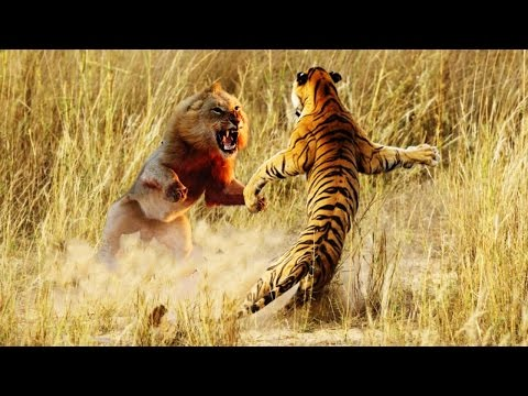 [the Animal] World Lion Vs Lion Bloody Fight To Death   Wild Animals Attack #15