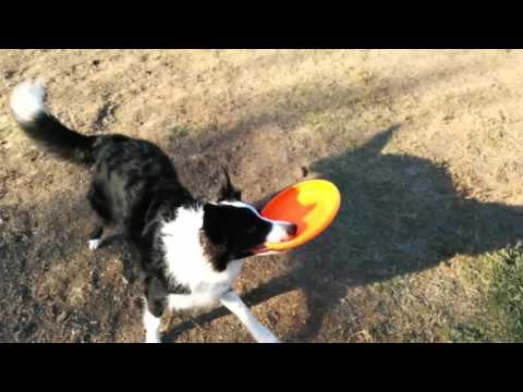 Border Collie Berkley At The Dog Park For The First Time