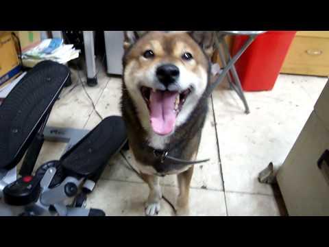 全世界第一隻會說人話的狗,真的是太神奇了~