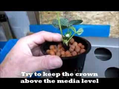 Strawberry Hydroponics-No Power or Pumps-Kratky Method & Hand Watered Hydroponics