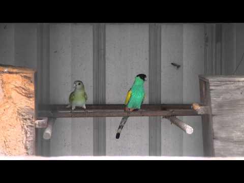 Hooded Parrots | BirdSpyAus