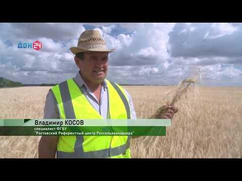 В Ростовской области осуществляется контроль сортовых качеств посевов
