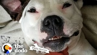 Pittie Who Was Shot Lives Like A Princess Now | The Dodo Pittie Nation by The Dodo