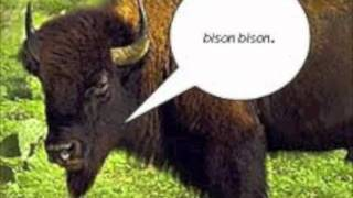 American Bison (science Class)