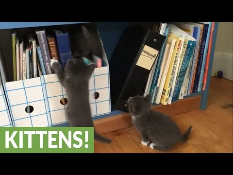 Eight foster kittens learn to explore (видео)