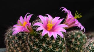 Mammillaria sheldonii flowering