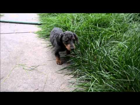 Noah Silver Dapple Male Miniature Dachshund Puppy for sale
