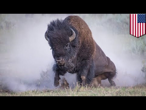 Woman flipped by bison at same park her date was gored at months earlier - TomoNews