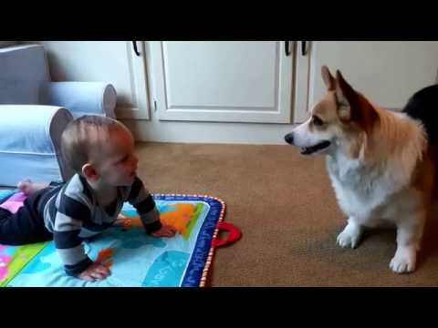 "Hilarious Corgi trying to get baby to chase him. ""Is this mini human broken human?""- Tucker"