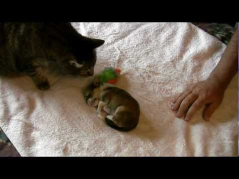 CUTE CHIHUAHUA PUPPY (with Charlie the Cat)