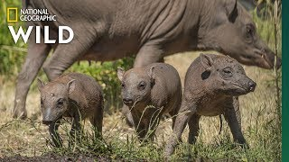Extremely Rare Pig Births Even Rarer Triplets | Nat Geo Wild by Nat Geo WILD