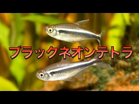 【熱帯魚・カラシン】 ブラックネオンテトラ  (Aqupedia)