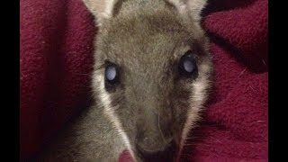 Sammy the whiptail wallaby had bilateral cataracts, so the ophthalmologist donated his time, and the rest of the money was funded by donation to pay for the surgery and medications following it.  And he can see again.  This is Sammy 3 months post surgery and he's doing really well and can see.  YAY.