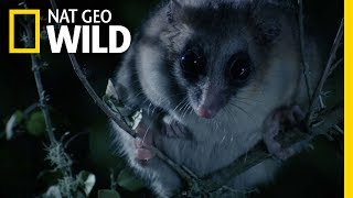 Why Is This Marsupial Defecating Seeds? | Wild Chile by Nat Geo WILD